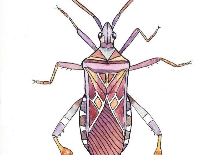 Conifer-seed-bug-F-A-Jackson