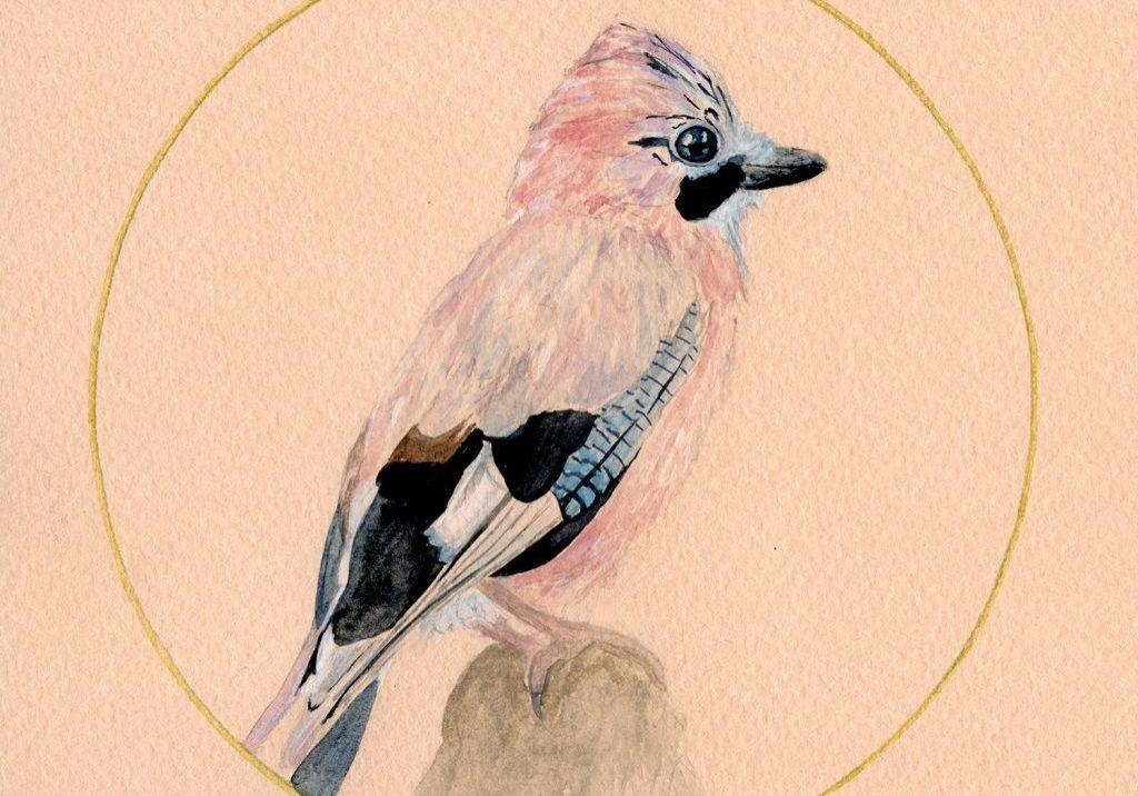 pink-jay-1-small